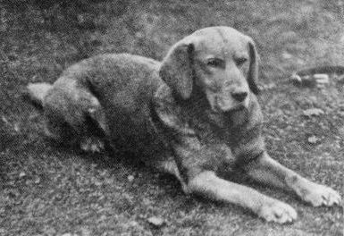 History Of The Labrador Retriever