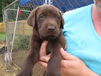 Chocolate Male Lab Pup