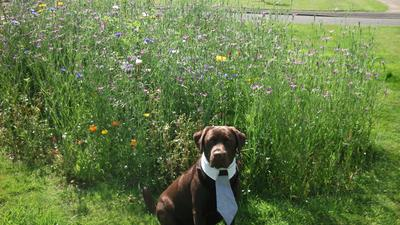 Purebred Male Chocolate Labrador