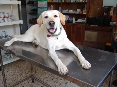 Labrador Retriever Health Concerns Symptoms And Treatment