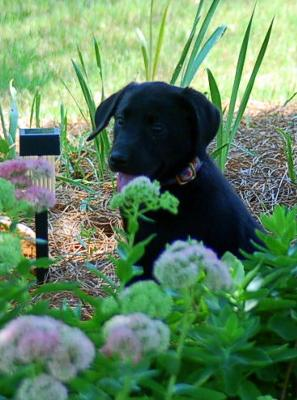 Lily puppy photo