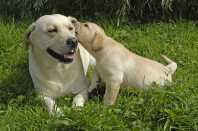 akc labrador retrievers the american kennel club standard