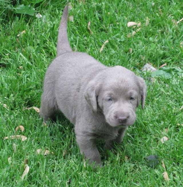 Labrador retriever puppies silver