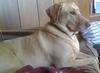 Spnnkers the Labrador Retriever