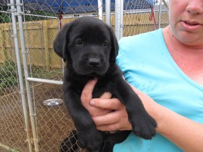 Black female Lab Pup