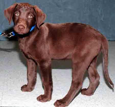 Labrador Retriever Colours