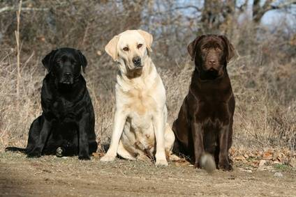 Labrador Retriever Colours
