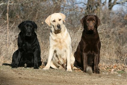English Labrador Coat Colours