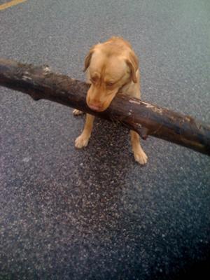 Light's favorite game is carry around small sticks.
