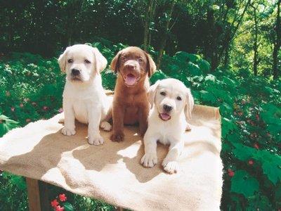Miniature Labrador And Labrador Dwarfism