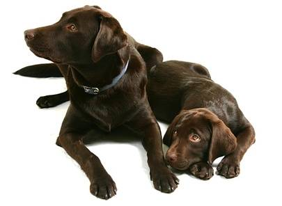 Chocolate Labs Are They The Best Looking Labrador